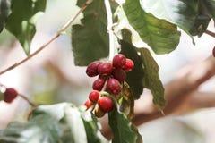 Φασόλια καφέ arabica Coffea σε έναν θάμνο Στοκ Φωτογραφίες