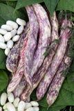 Φασόλια με τους χρωματισμένους λοβούς και τα άσπρα σιτάρια στοκ εικόνα με δικαίωμα ελεύθερης χρήσης