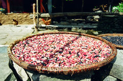 φασόλια που ξεραίνουν το Ιμαλάια Νεπάλ Στοκ Φωτογραφίες