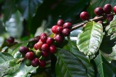 Φασόλι καφέ, κεράσια καφέ ή μούρα καφέ Στοκ εικόνες με δικαίωμα ελεύθερης χρήσης