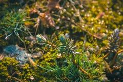 Φασόλια Sedum εγκαταστάσεις Rubrotinctum Crassulaceae, Succulent χοιρινού κρέατος και ξηρές Στοκ φωτογραφία με δικαίωμα ελεύθερης χρήσης