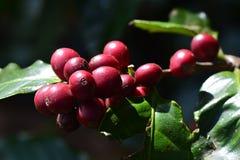 Φασόλι καφέ, κεράσια καφέ ή μούρα καφέ Στοκ φωτογραφία με δικαίωμα ελεύθερης χρήσης