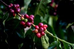 Φασόλι καφέ στον κλάδο Στοκ Εικόνες