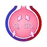 Φατνίο στον πνεύμονα Ανταλλαγή αερίου Έννοια ανατομίας ελεύθερη απεικόνιση δικαιώματος