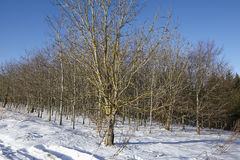 Φαλακρά δέντρα σε ένα snowscape Στοκ εικόνες με δικαίωμα ελεύθερης χρήσης