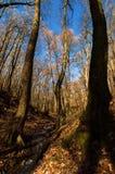 Φαλακρά δασικά δέντρα Στοκ Φωτογραφίες