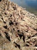 Φαλακρές γόνατα και ρίζες δέντρων κυπαρισσιών Distichum Taxodium δίπλα στο νερό Στοκ φωτογραφίες με δικαίωμα ελεύθερης χρήσης