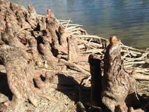 Φαλακρές γόνατα και ρίζες δέντρων κυπαρισσιών Distichum Taxodium δίπλα στο νερό Στοκ Εικόνες