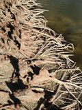 Φαλακρές γόνατα και ρίζες δέντρων κυπαρισσιών Distichum Taxodium δίπλα στο νερό Στοκ φωτογραφία με δικαίωμα ελεύθερης χρήσης