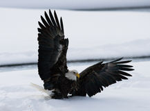 Φαλακρές μύγες αετών επάνω από το έδαφος χιόνι Χειμώνας ΗΠΑ albedo Ποταμός Chilkat στοκ φωτογραφίες