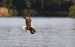 φαλακρή ανύψωση αετών Στοκ εικόνες με δικαίωμα ελεύθερης χρήσης