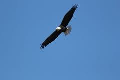 φαλακρή ανύψωση αετών Στοκ φωτογραφίες με δικαίωμα ελεύθερης χρήσης