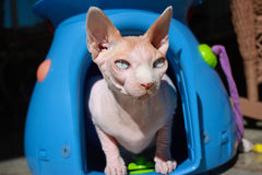 Φαλακρή γάτα Sphynx στο κιβώτιο μεταφορέων Στοκ Εικόνα