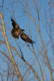 φαλακρή πτήση αετών στοκ εικόνες με δικαίωμα ελεύθερης χρήσης