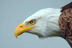 Φαλακρή πλευρά αετών στο πορτρέτο Στοκ εικόνες με δικαίωμα ελεύθερης χρήσης