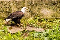 Φαλακρή στάση αετών Στοκ εικόνα με δικαίωμα ελεύθερης χρήσης