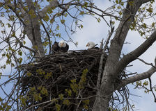 Φαλακροί αετοί στη φωλιά Στοκ Φωτογραφία