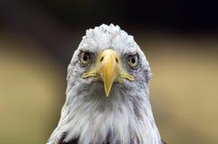 Φαλακρός αετός - ένα πουλί με μια τοποθέτηση Στοκ Φωτογραφία