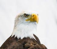 Φαλακρός αετός ή αμερικανικός αετός Στοκ Φωτογραφίες