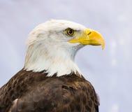 Φαλακρός αετός ή αμερικανικός αετός Στοκ Εικόνες