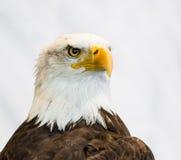 Φαλακρός αετός ή αμερικανικός αετός Στοκ εικόνες με δικαίωμα ελεύθερης χρήσης