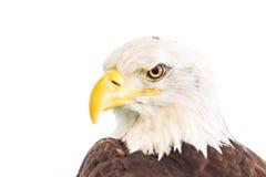 Φαλακρός αετός ή αμερικανικός αετός Στοκ Φωτογραφία