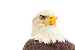 Φαλακρός αετός ή αμερικανικός αετός Στοκ Εικόνα
