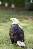 Φαλακρός αετός - αμερικανικός αετός, leucocephalus Haliaeetus Στοκ εικόνα με δικαίωμα ελεύθερης χρήσης