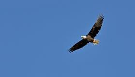 Φαλακρός αετός ανύψωσης Στοκ φωτογραφία με δικαίωμα ελεύθερης χρήσης