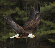 Φαλακρός αετός ανύψωσης Στοκ Φωτογραφίες