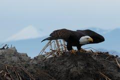 φαλακρός αετός από τη λήψη Στοκ Φωτογραφίες