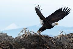 φαλακρός αετός από τη λήψη Στοκ φωτογραφία με δικαίωμα ελεύθερης χρήσης