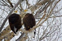 φαλακρός αετός ζευγών Στοκ Εικόνες