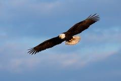 Φαλακρός αετός κατά την πτήση, Αλάσκα Στοκ Εικόνες