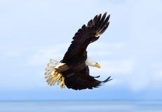 Φαλακρός αετός κατά την πτήση με το υπόβαθρο μπλε ουρανού albedo στοκ φωτογραφία
