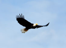 Φαλακρός αετός κατά την πτήση με το υπόβαθρο μπλε ουρανού albedo στοκ φωτογραφία με δικαίωμα ελεύθερης χρήσης