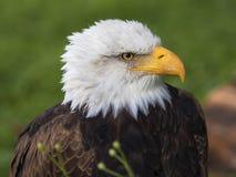 Φαλακρός αετός πορτρέτου Στοκ εικόνες με δικαίωμα ελεύθερης χρήσης