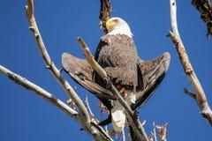 Φαλακρός αετός που θερμαίνει τα φτερά του Στοκ φωτογραφίες με δικαίωμα ελεύθερης χρήσης