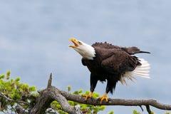 Φαλακρός αετός που κραυγάζει, Βρετανική Κολομβία, Καναδάς Στοκ φωτογραφία με δικαίωμα ελεύθερης χρήσης