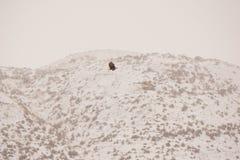 Φαλακρός αετός που πετά στο χιόνι Στοκ Εικόνες