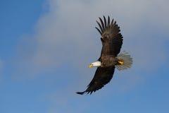 Φαλακρός αετός που πετά, Όμηρος Αλάσκα Στοκ Φωτογραφία