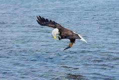 Φαλακρός αετός που πιάνει τα ψάρια, Αλάσκα, ΗΠΑ Στοκ Εικόνες