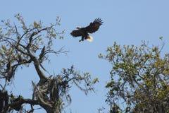 Φαλακρός αετός που προσγειώνεται σε ένα δέντρο στην κεντρική Φλώριδα στοκ εικόνα