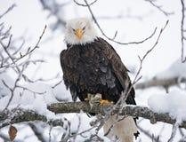 Φαλακρός αετός που σκαρφαλώνει σε έναν κλάδο δέντρων ΗΠΑ albedo Ποταμός Chilkat στοκ φωτογραφίες με δικαίωμα ελεύθερης χρήσης