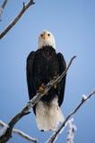 Φαλακρός αετός που σκαρφαλώνει σε έναν κλάδο δέντρων ΗΠΑ albedo Ποταμός Chilkat στοκ εικόνες με δικαίωμα ελεύθερης χρήσης