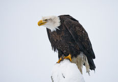 Φαλακρός αετός που σκαρφαλώνει σε έναν κλάδο δέντρων ΗΠΑ albedo Ποταμός Chilkat στοκ εικόνες