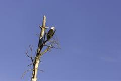 Φαλακρός αετός που σκαρφαλώνει στο νεκρό δέντρο ενάντια στο μπλε ουρανό Στοκ φωτογραφία με δικαίωμα ελεύθερης χρήσης
