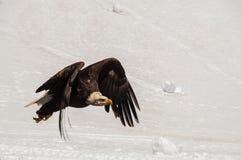 Φαλακρός αετός στο χιόνι στοκ εικόνα