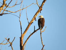 φαλακρός αετός Στοκ φωτογραφίες με δικαίωμα ελεύθερης χρήσης