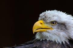 φαλακρός αετός Στοκ Εικόνες